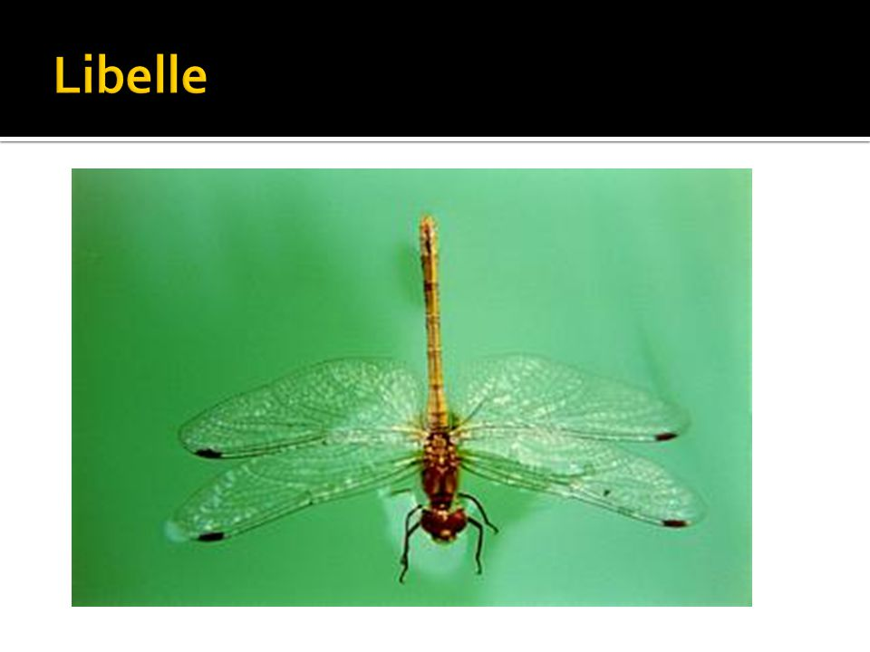  Nieuwe compositie maken met twee verschillende insectenvleugels  - Kies twee verschillende insectenvleugels (vlinder en libelle)  - Deel een A4 tekenblad in twee.