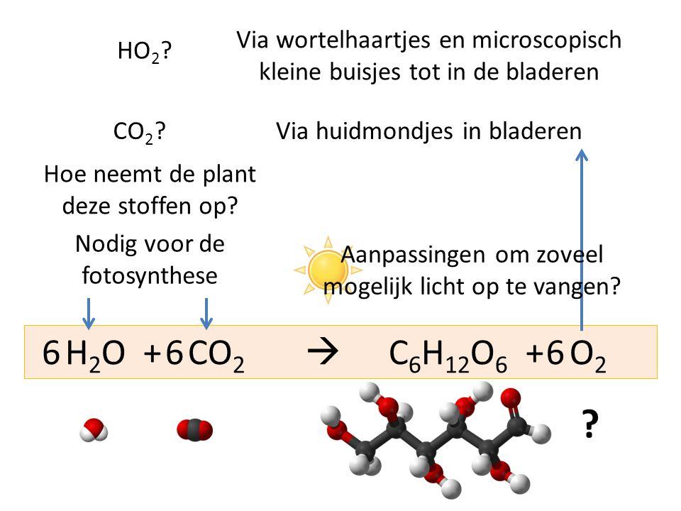 H 2 O + CO 2  C 6 H 12 O 6 + O 2 666 ? Nodig voor de fotosynthese Hoe neemt de plant deze stoffen op? CO 2 ? HO 2 ? Via huidmondjes in bladeren Via w