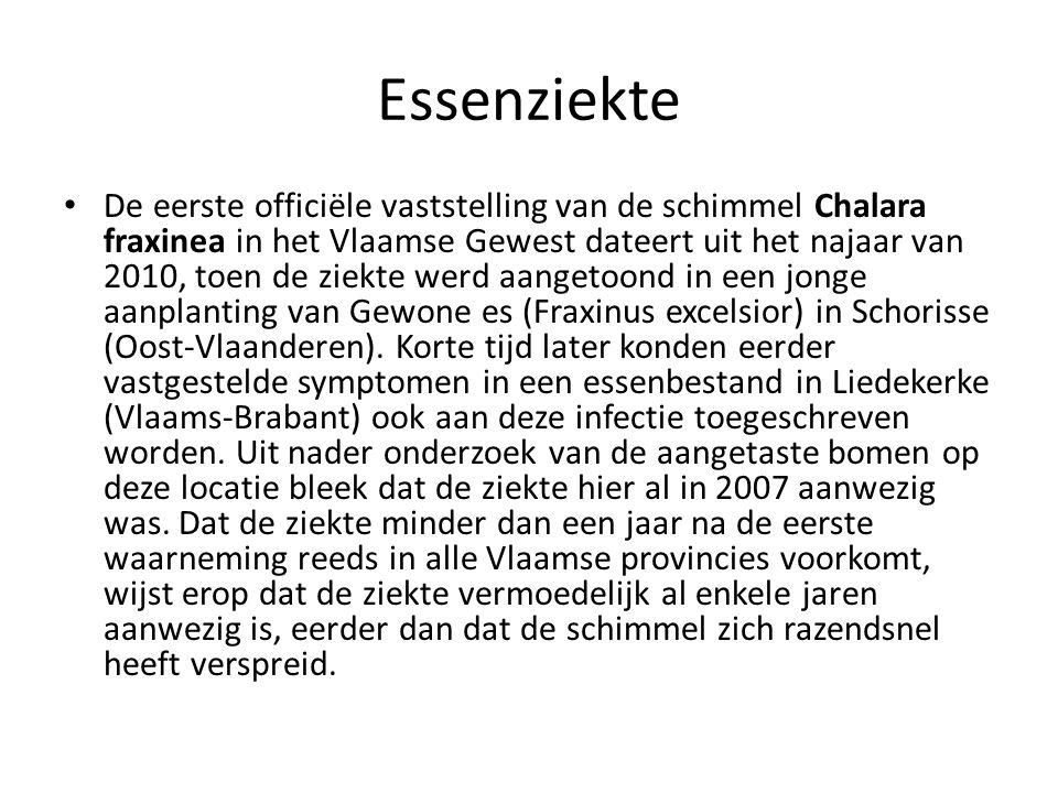Essenziekte • De eerste officiële vaststelling van de schimmel Chalara fraxinea in het Vlaamse Gewest dateert uit het najaar van 2010, toen de ziekte