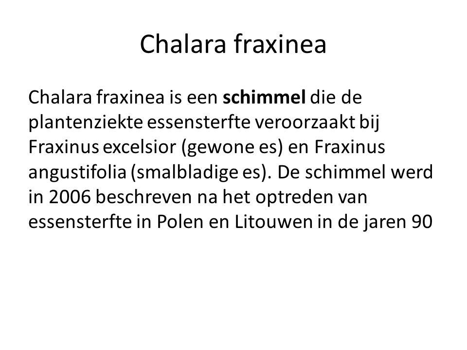 Chalara fraxinea Chalara fraxinea is een schimmel die de plantenziekte essensterfte veroorzaakt bij Fraxinus excelsior (gewone es) en Fraxinus angusti