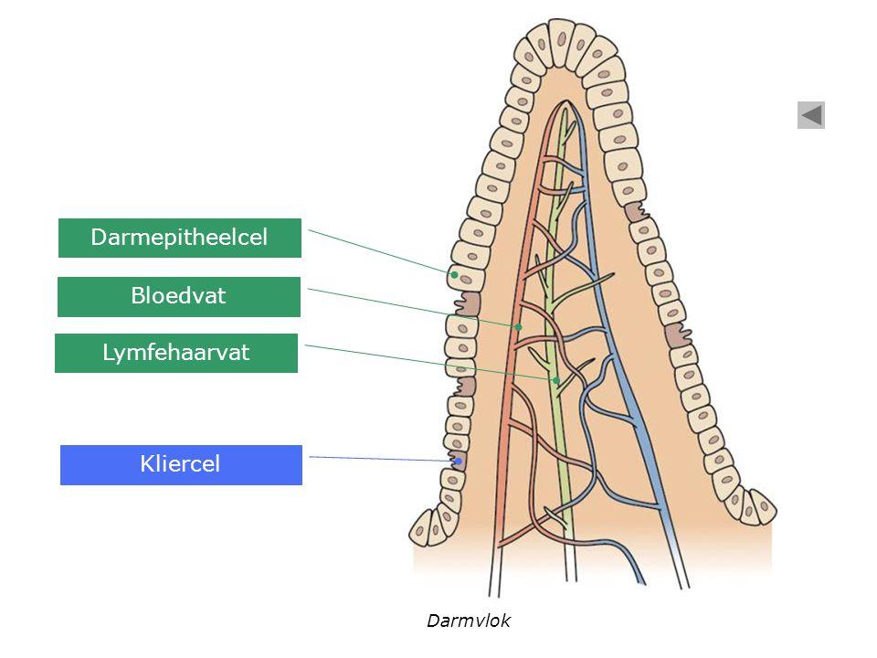 Voorbeelden van exocriene klieren Traanklier  traanvocht Talgklier  talg Zweetklier  zweet Maagwandklier  maagzuur Maagwand