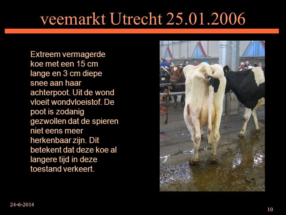 24-6-2014 10 veemarkt Utrecht 25.01.2006 Extreem vermagerde koe met een 15 cm lange en 3 cm diepe snee aan haar achterpoot. Uit de wond vloeit wondvlo