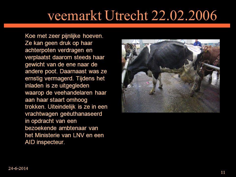 24-6-2014 11 veemarkt Utrecht 22.02.2006 Koe met zeer pijnlijke hoeven. Ze kan geen druk op haar achterpoten verdragen en verplaatst daarom steeds haa