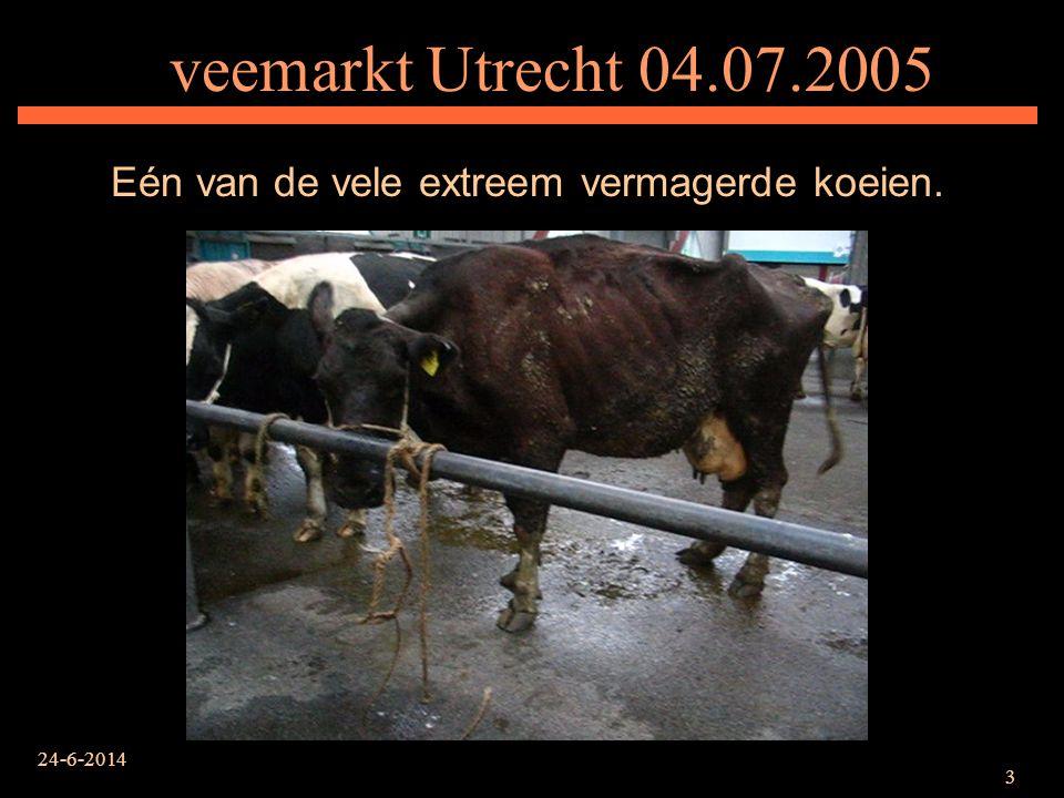24-6-2014 4 veemarkt Utrecht 04.07.2005 Koe met gezwollen voor- en achterpoten, waar ze geen druk op wil zetten.