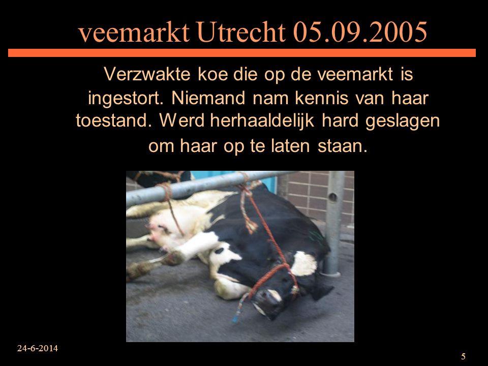 24-6-2014 5 veemarkt Utrecht 05.09.2005 Verzwakte koe die op de veemarkt is ingestort. Niemand nam kennis van haar toestand. Werd herhaaldelijk hard g