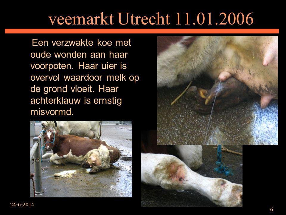 24-6-2014 6 veemarkt Utrecht 11.01.2006 Een verzwakte koe met oude wonden aan haar voorpoten. Haar uier is overvol waardoor melk op de grond vloeit. H