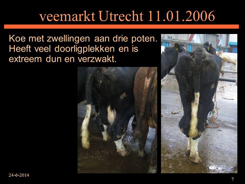 24-6-2014 7 veemarkt Utrecht 11.01.2006 Koe met zwellingen aan drie poten. Heeft veel doorligplekken en is extreem dun en verzwakt.