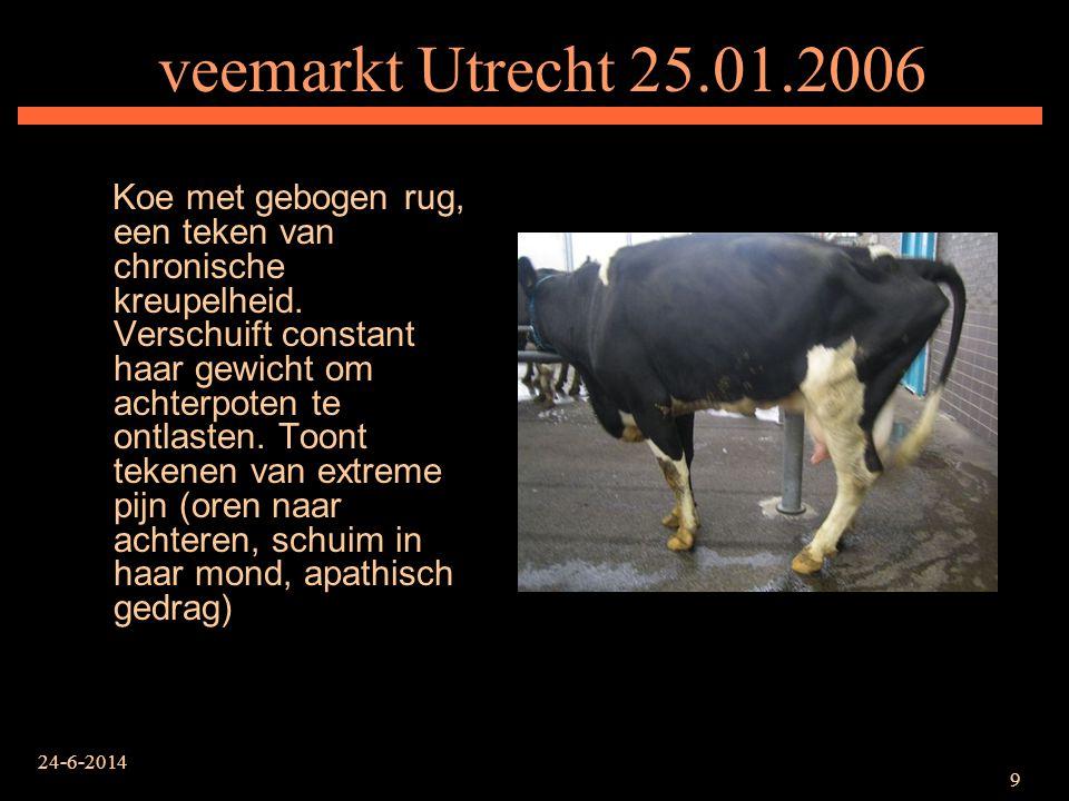 24-6-2014 10 veemarkt Utrecht 25.01.2006 Extreem vermagerde koe met een 15 cm lange en 3 cm diepe snee aan haar achterpoot.