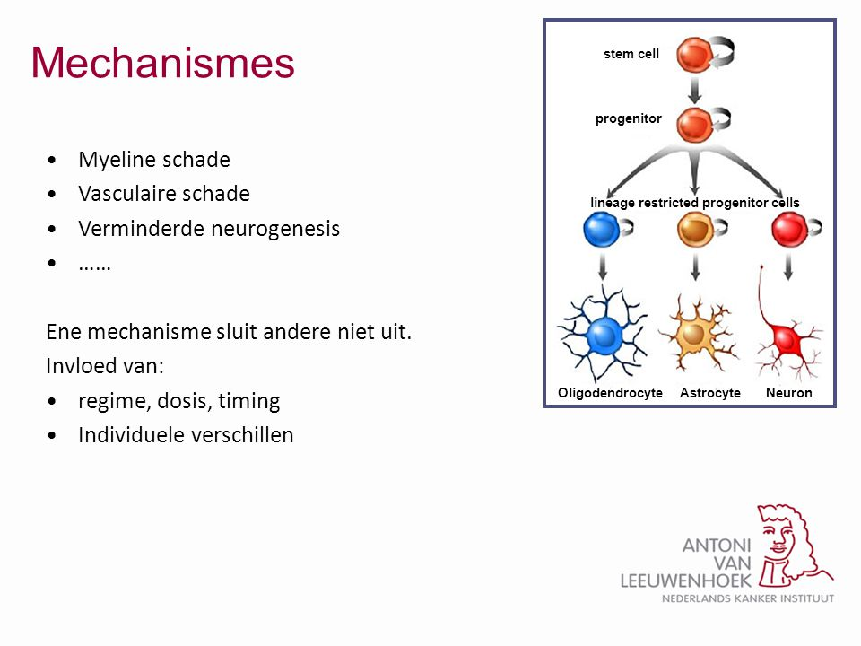 Mechanismes stem cell progenitor lineage restricted progenitor cells Oligodendrocyte Astrocyte Neuron •Myeline schade •Vasculaire schade •Verminderde