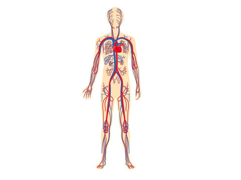 Slagader Ader •Voeren het bloed weg van het hart •Lichaamsslagaders bevatten zuurstofrijk bloed.