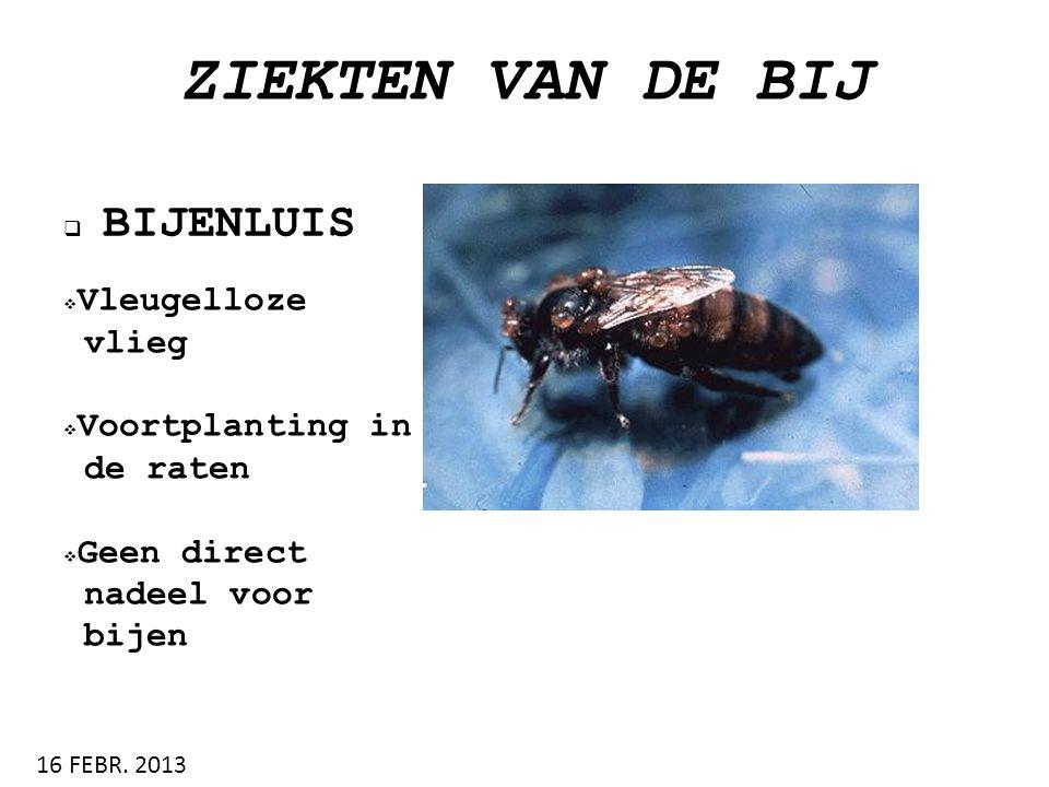 ZIEKTEN VAN DE BIJ  BIJENLUIS 16 FEBR. 2013  Vleugelloze vlieg  Voortplanting in de raten  Geen direct nadeel voor bijen