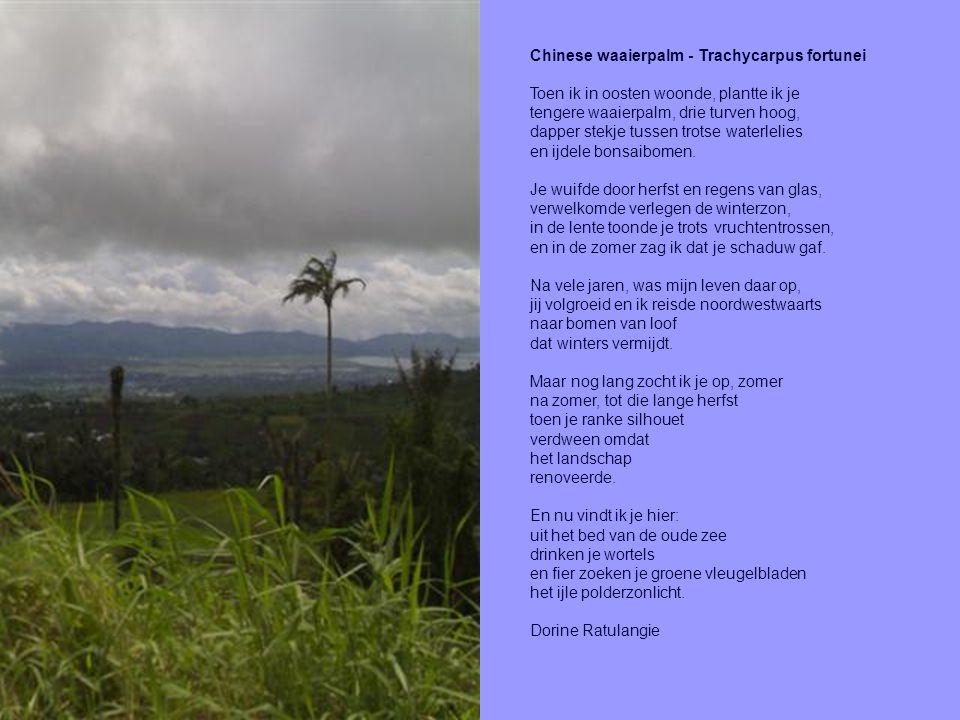 Chinese waaierpalm - Trachycarpus fortunei Toen ik in oosten woonde, plantte ik je tengere waaierpalm, drie turven hoog, dapper stekje tussen trotse w