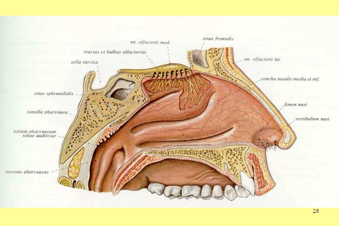 29 S.aureus neusdragerschap •30% drager, asymptomatisch •Indien symptomatisch geeft S.