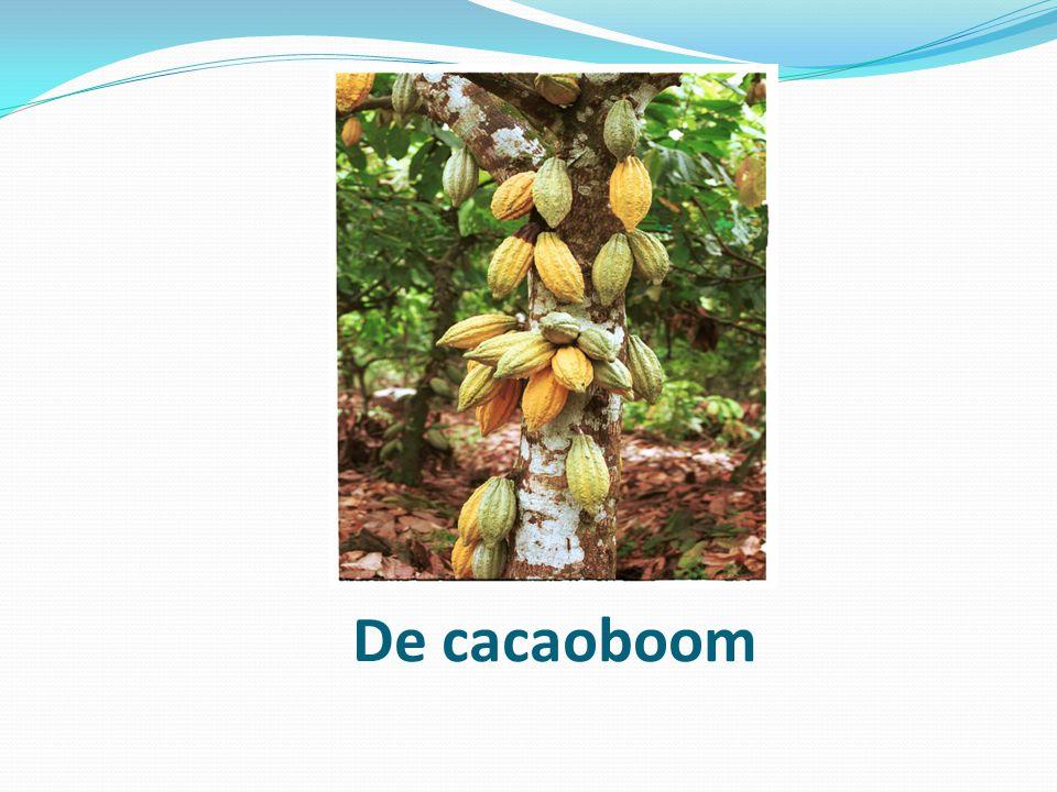 De cacaovrucht.