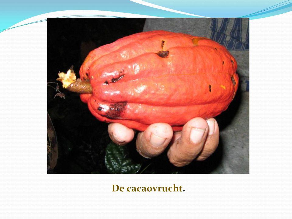 Het gebruik van cacao bij de ceremonie van het haarknippen  Het knippen van het haar van een jonge Kuna heeft plaats tijdens een belangrijke ceremonie die 3 dagen duurt.