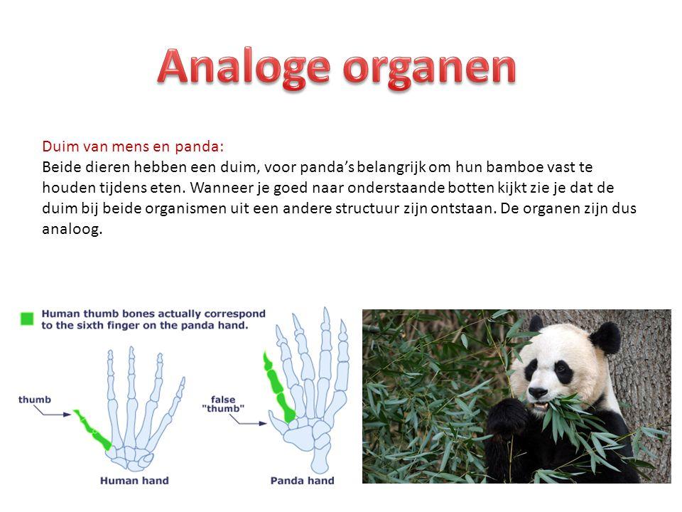 Duim van mens en panda: Beide dieren hebben een duim, voor panda's belangrijk om hun bamboe vast te houden tijdens eten.