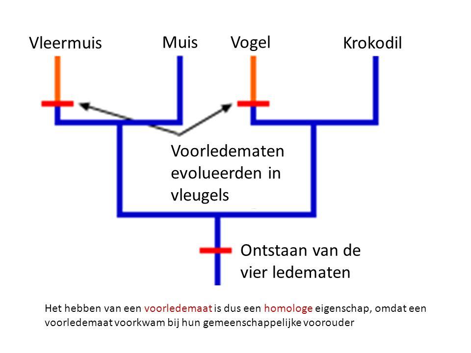 Vleermuis MuisVogel Krokodil Voorledematen evolueerden in vleugels Ontstaan van de vier ledematen Het hebben van een voorledemaat is dus een homologe