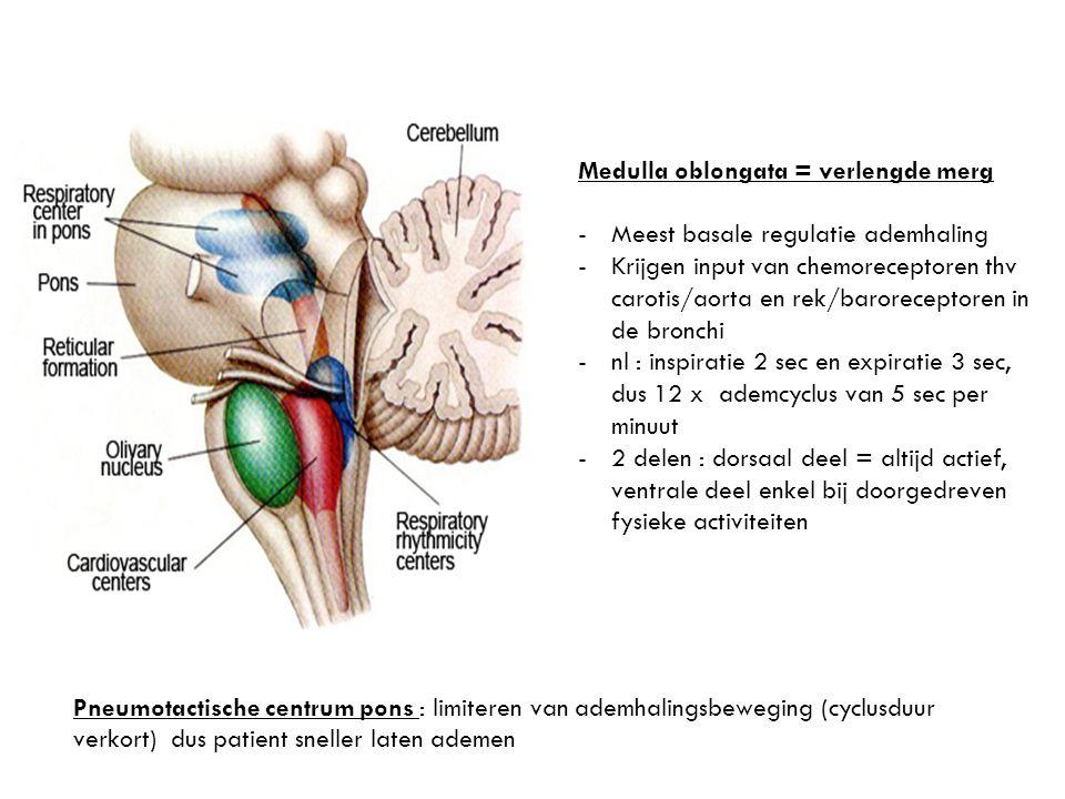 Medulla oblongata = verlengde merg -Meest basale regulatie ademhaling -Krijgen input van chemoreceptoren thv carotis/aorta en rek/baroreceptoren in de