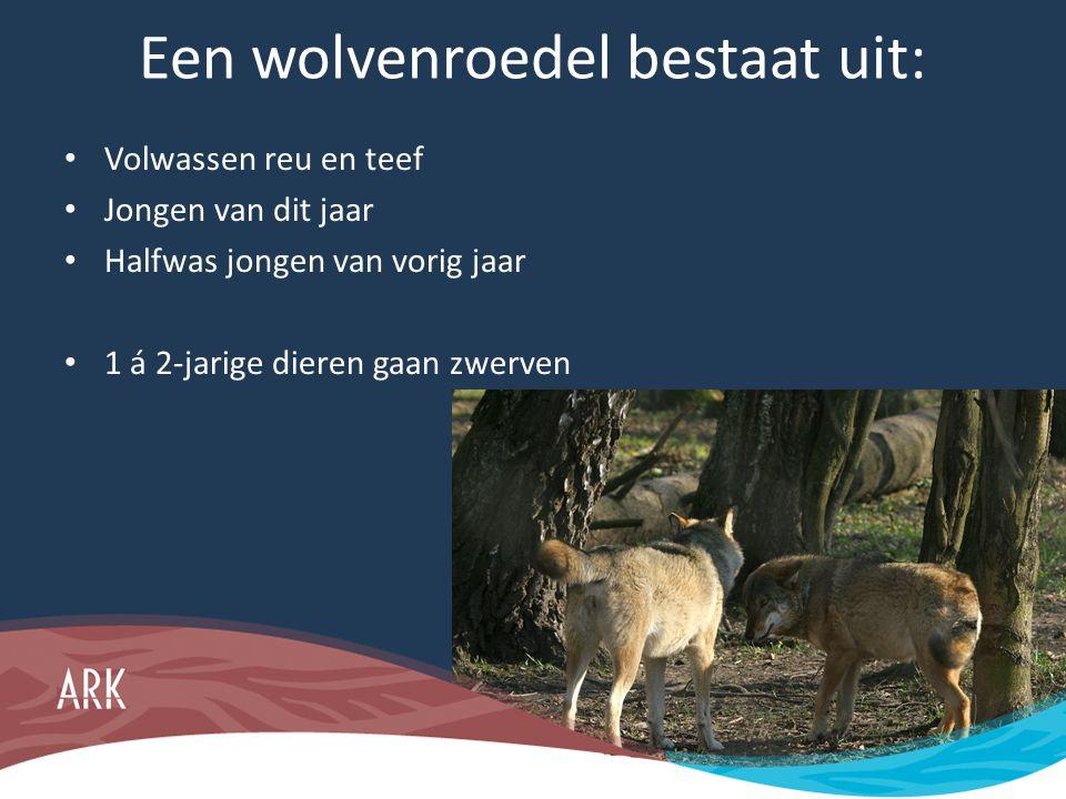 Een wolvenroedel bestaat uit: • Volwassen reu en teef • Jongen van dit jaar • Halfwas jongen van vorig jaar • 1 á 2-jarige dieren gaan zwerven