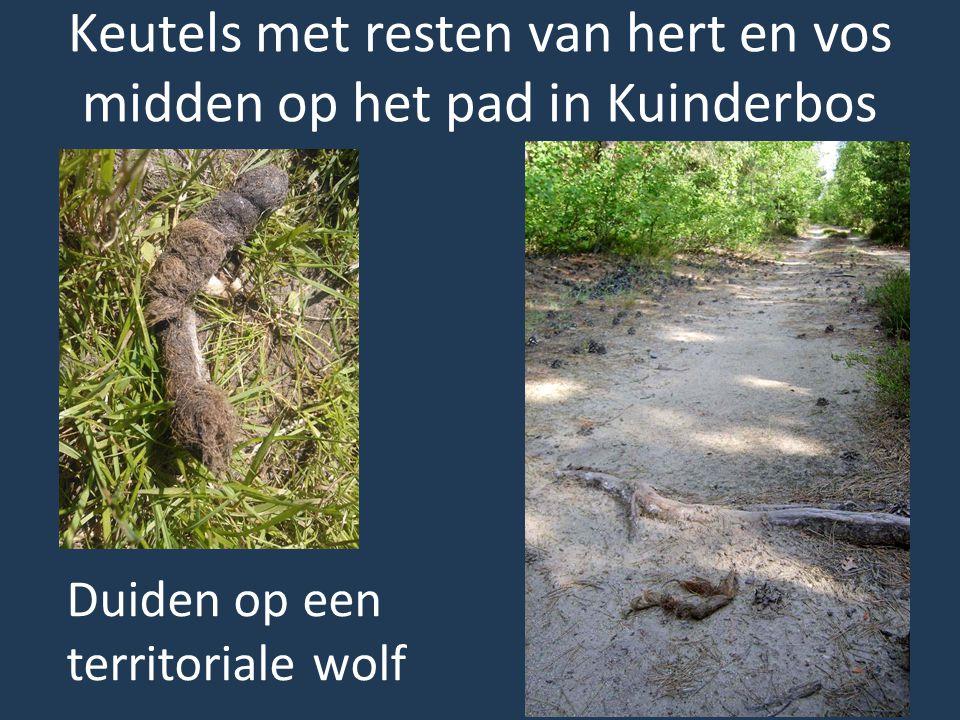 Duiden op een territoriale wolf Keutels met resten van hert en vos midden op het pad in Kuinderbos