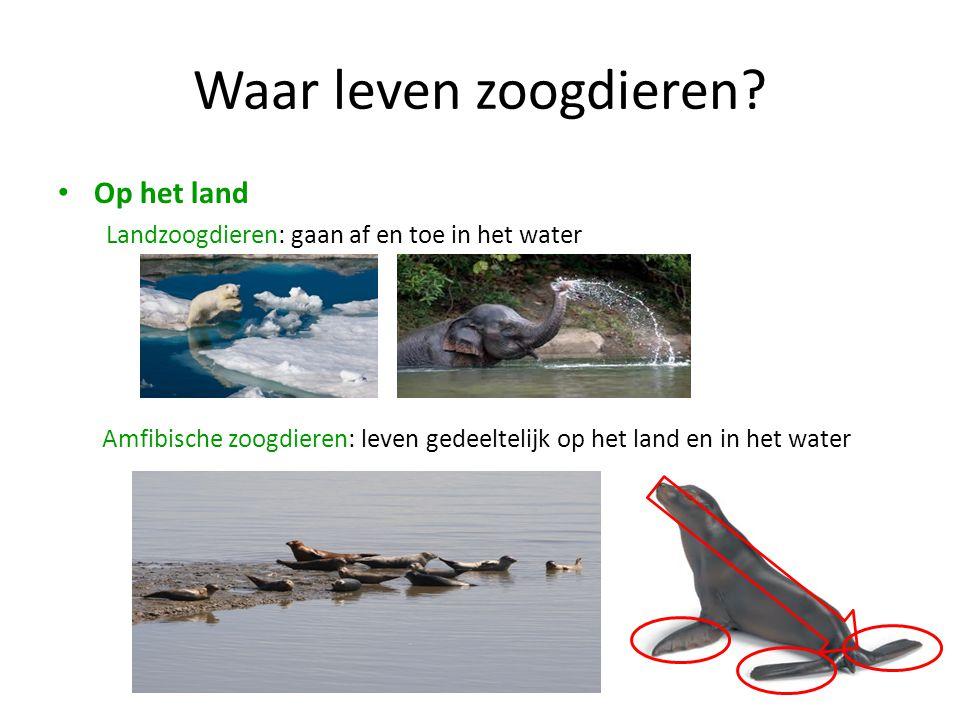 Waar leven zoogdieren? • Op het land Landzoogdieren: gaan af en toe in het water Amfibische zoogdieren: leven gedeeltelijk op het land en in het water
