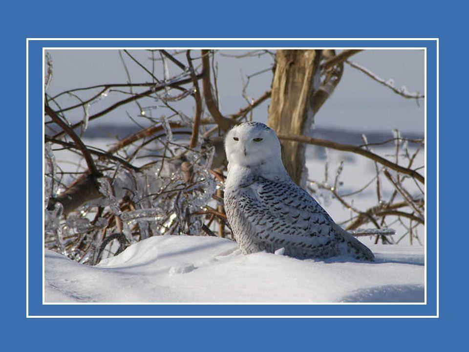 De sneeuwuil sticht zijn «gezin» in de toendra van Noord-Amerika. Enkele specimens brengen de winter door in de streek waar ze wonen, maar de meeste t