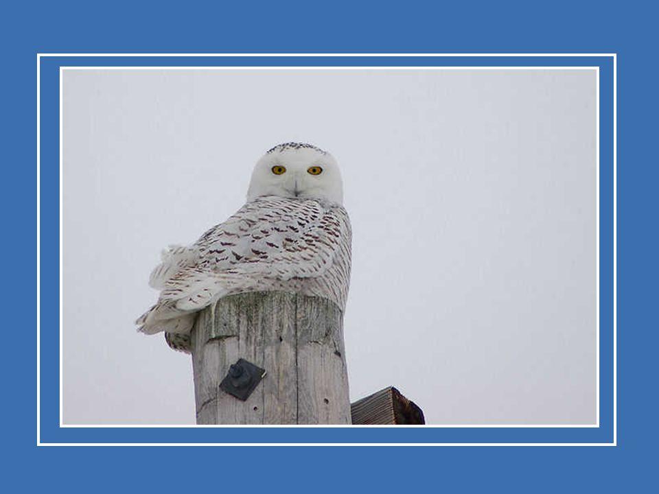 De sneeuwuil die overwintert in het zuiden van Canada en in het noorden van de Verenigde Staten trekt rond februari of maart terug naar zijn nestelreg