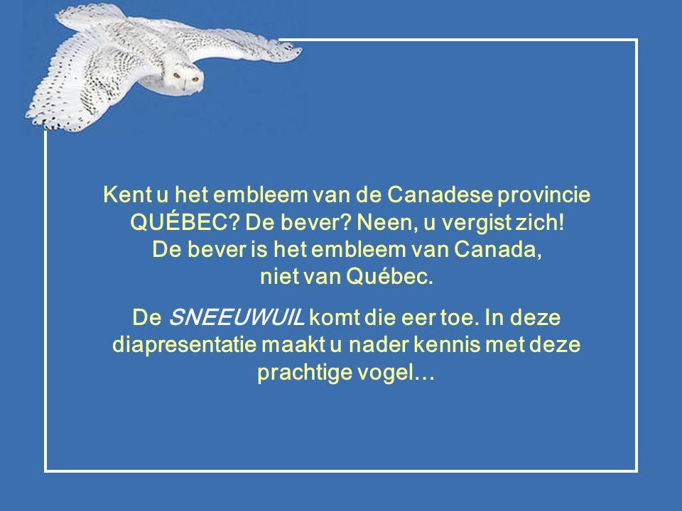 De sneeuwuil sticht zijn «gezin» in de toendra van Noord-Amerika.