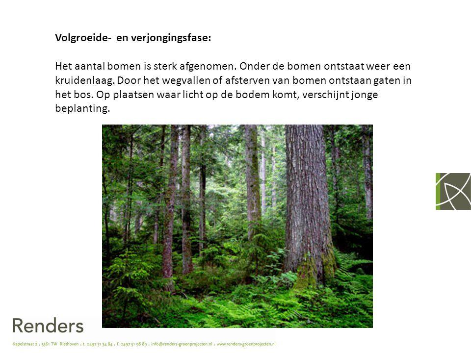 Volgroeide- en verjongingsfase: Het aantal bomen is sterk afgenomen. Onder de bomen ontstaat weer een kruidenlaag. Door het wegvallen of afsterven van