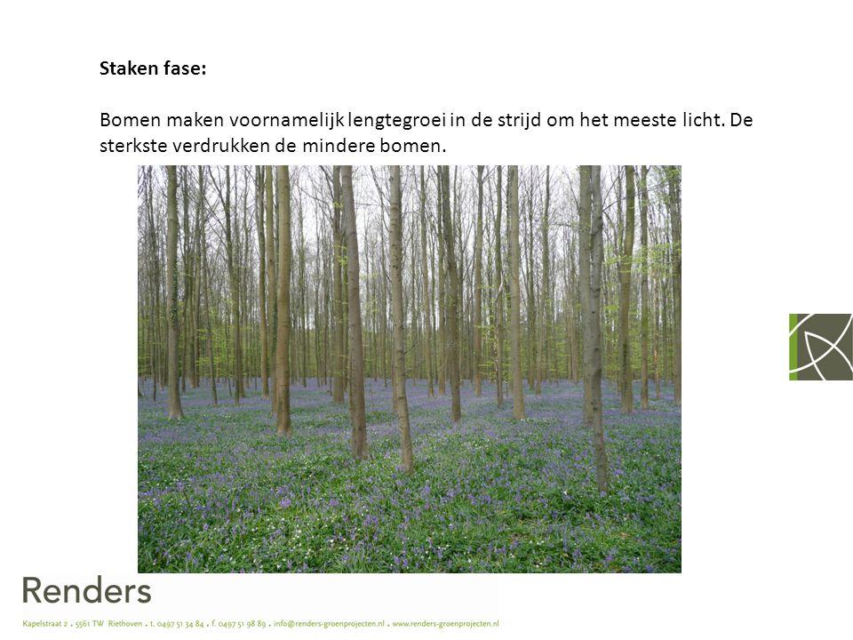 Staken fase: Bomen maken voornamelijk lengtegroei in de strijd om het meeste licht. De sterkste verdrukken de mindere bomen.