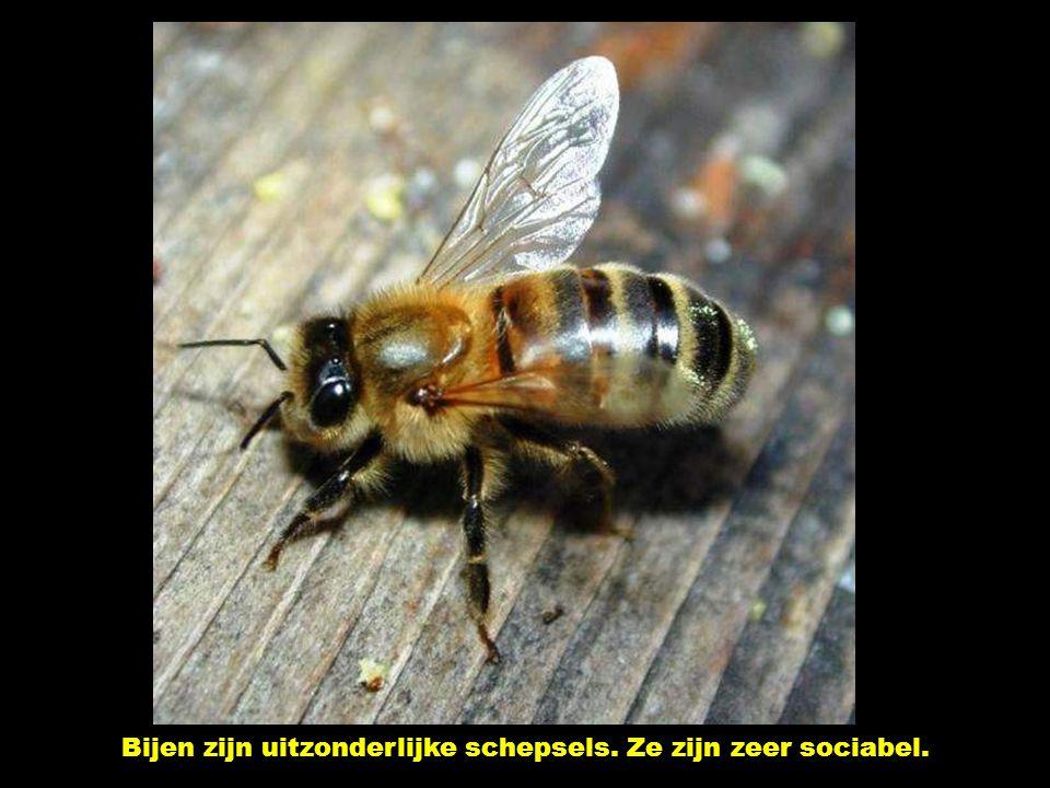 Bijen zijn uitzonderlijke schepsels. Ze zijn zeer sociabel.