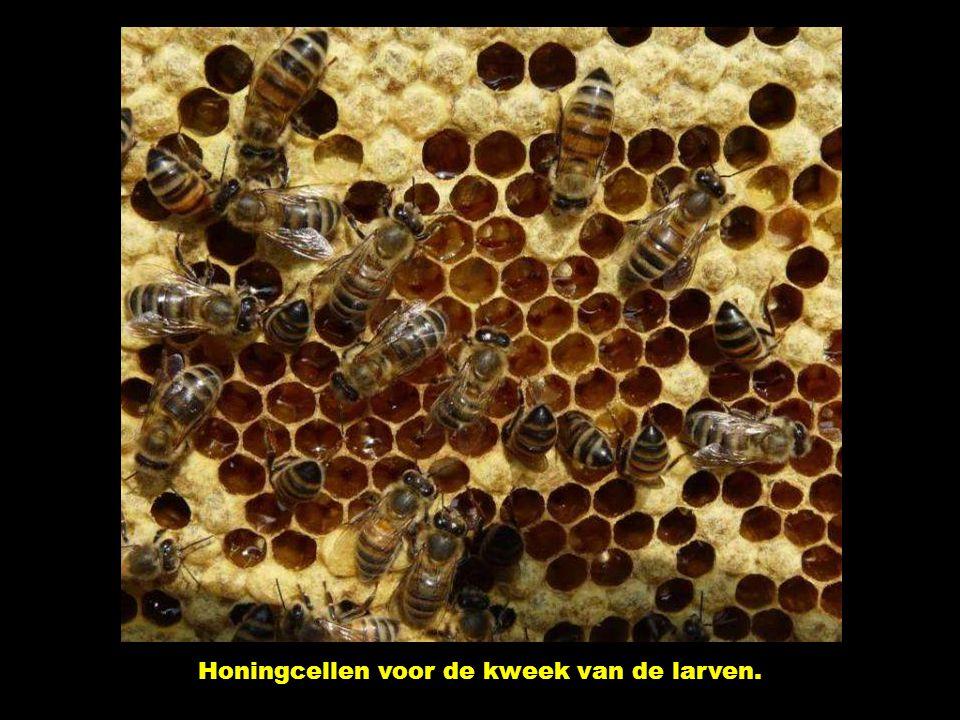 Honingcellen voor de kweek van de larven.