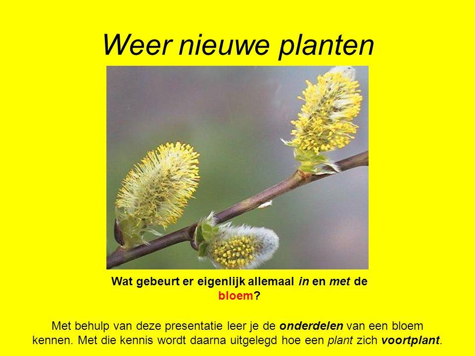Weer nieuwe planten Met behulp van deze presentatie leer je de onderdelen van een bloem kennen. Met die kennis wordt daarna uitgelegd hoe een plant zi