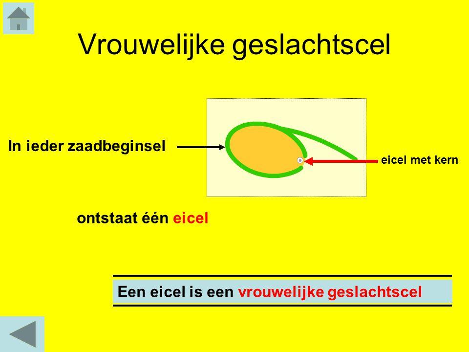 Vrouwelijke geslachtscel ontstaat één eicel In ieder zaadbeginsel Een eicel is een vrouwelijke geslachtscel eicel met kern