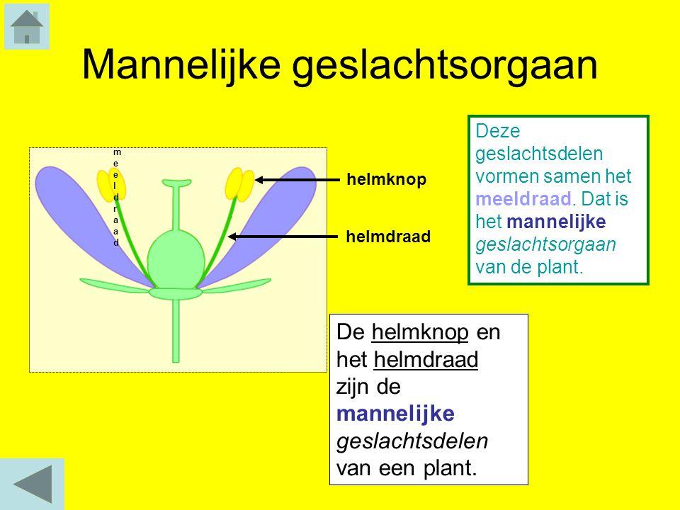 Mannelijke geslachtsorgaan De helmknop en het helmdraad zijn de mannelijke geslachtsdelen van een plant. helmdraad Deze geslachtsdelen vormen samen he