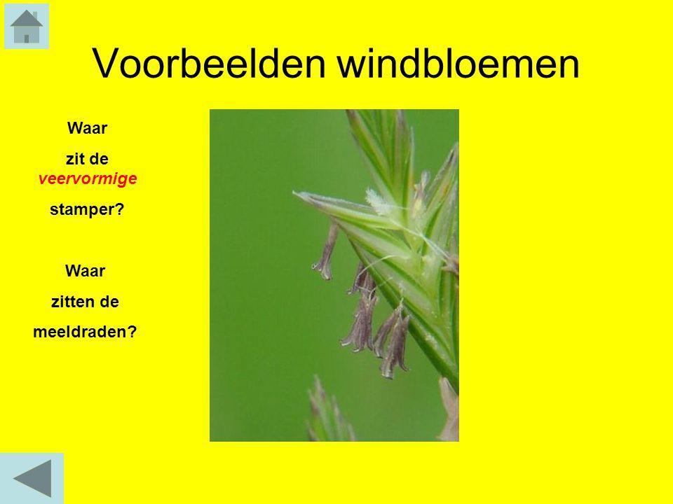Voorbeelden windbloemen Waar zitten de meeldraden? Waar zit de veervormige stamper?