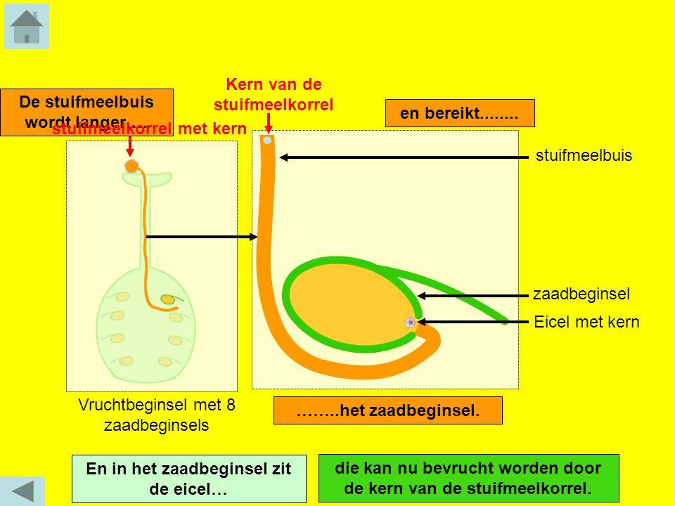 De stuifmeelbuis wordt langer…. ……..het zaadbeginsel. En in het zaadbeginsel zit de eicel… Vruchtbeginsel met 8 zaadbeginsels en bereikt........ Eicel