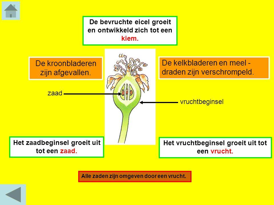 Het vruchtbeginsel groeit uit tot een vrucht. Het zaadbeginsel groeit uit tot een zaad. zaad De kroonbladeren zijn afgevallen. De kelkbladeren en meel
