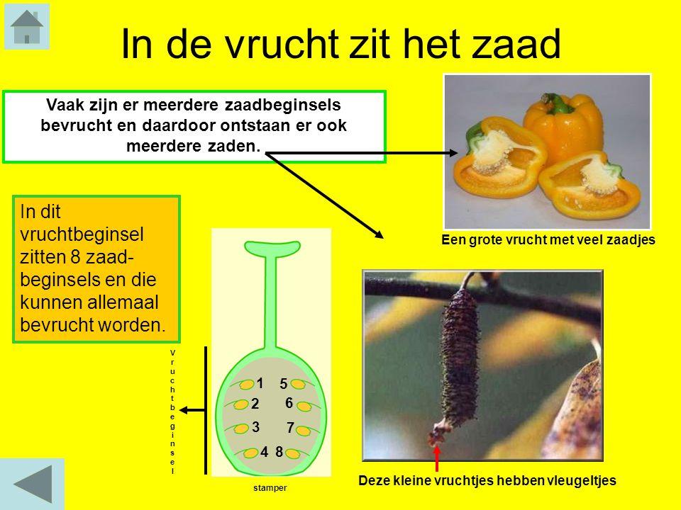 In de vrucht zit het zaad Vaak zijn er meerdere zaadbeginsels bevrucht en daardoor ontstaan er ook meerdere zaden. In dit vruchtbeginsel zitten 8 zaad
