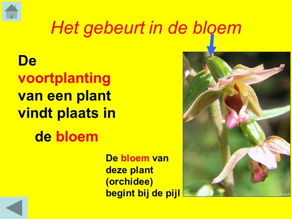 Het gebeurt in de bloem De bloem van deze plant (orchidee) begint bij de pijl De voortplanting van een plant vindt plaats in de bloem