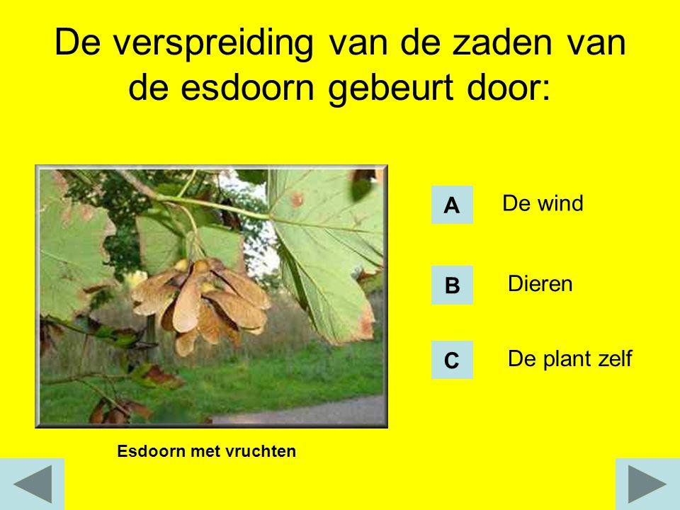 De verspreiding van de zaden van de esdoorn gebeurt door: Esdoorn met vruchten De wind Dieren De plant zelf A B C
