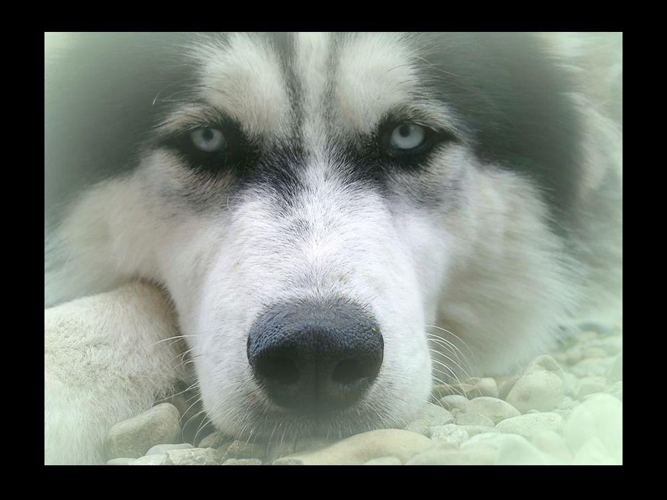 Husky's kunnen zeer eigenzinnig zijn en volgen, wanneer zij zelf het nut er niet van inzien, beslist niet elk commando op.
