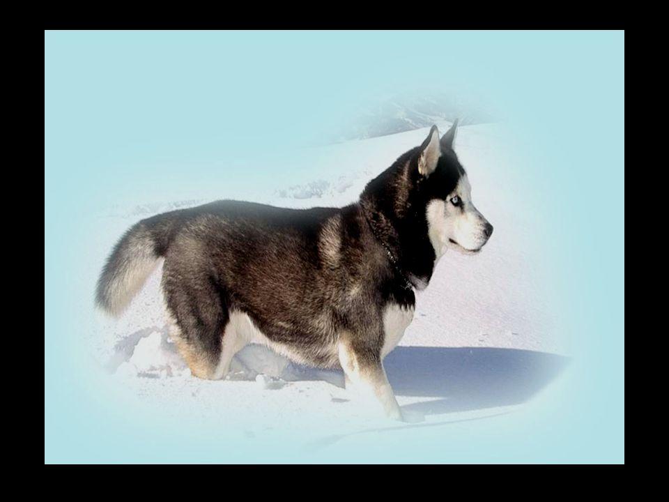 De Siberische husky is een soort hond, géén familie van poedels en/of chiwawa's...