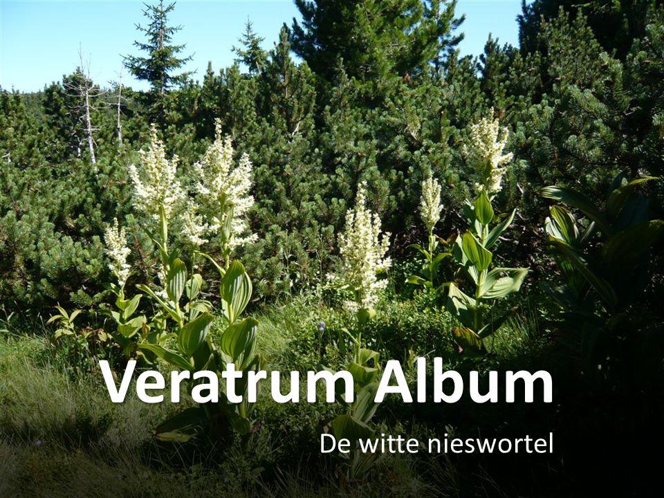 Veratrum Album De witte nieswortel