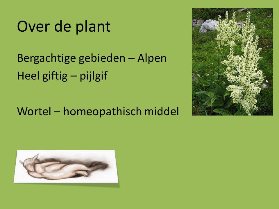 Over de plant Bergachtige gebieden – Alpen Heel giftig – pijlgif Wortel – homeopathisch middel