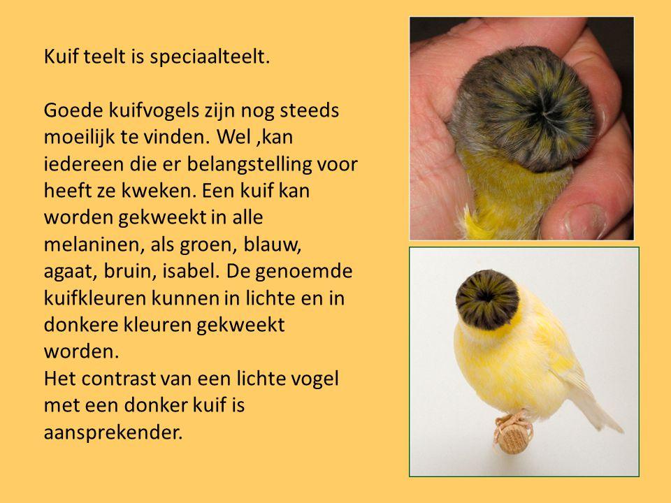 Kuif teelt is speciaalteelt. Goede kuifvogels zijn nog steeds moeilijk te vinden. Wel,kan iedereen die er belangstelling voor heeft ze kweken. Een kui