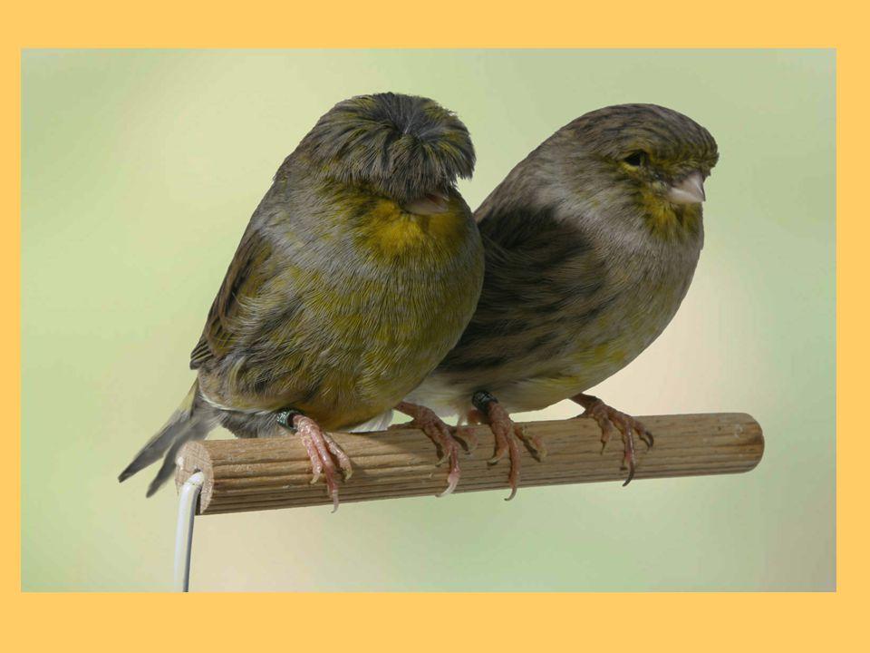 De vogels met de grijsgroene kuifkleur zijn aan de kop geel, die met de donkergroene kuif zijn aan de kop groen.