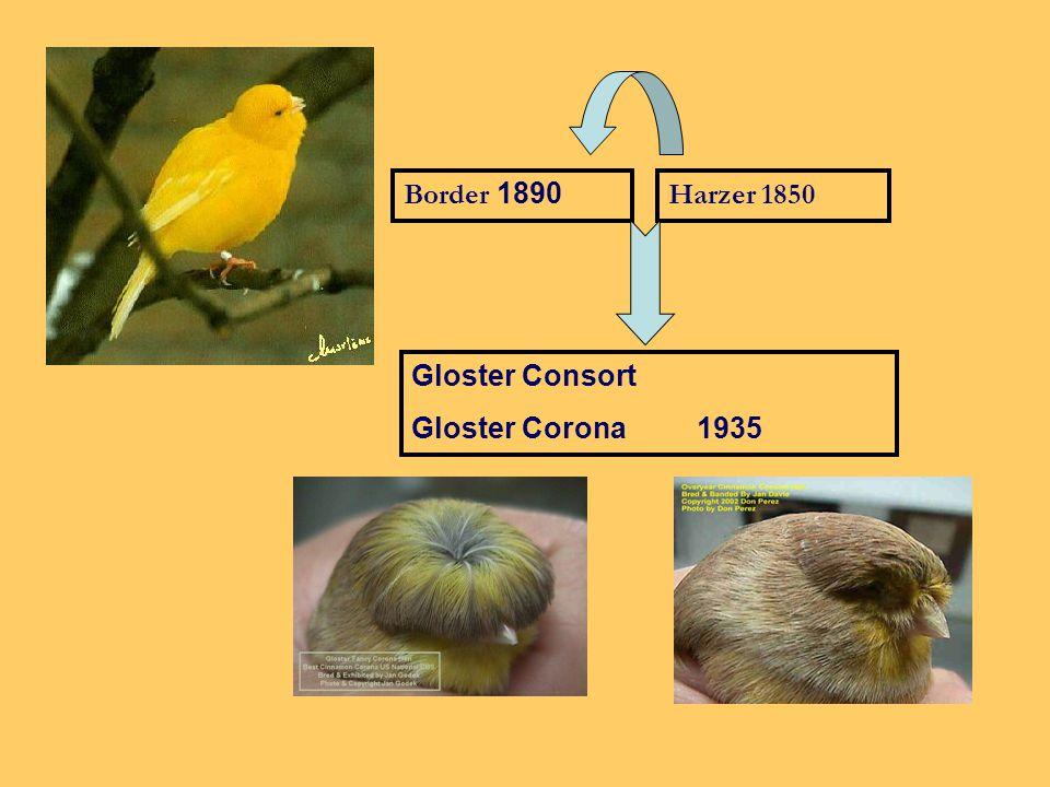Gloster Corona/Consort 1925: kuif en vormvogel 11 cm Engeland, Gloucesterhire De gekuifde vorm Gloster Corona.