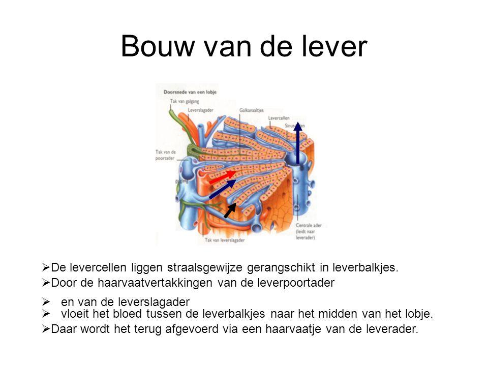 Bouw van de lever  De levercellen liggen straalsgewijze gerangschikt in leverbalkjes.  Door de haarvaatvertakkingen van de leverpoortader  en van d