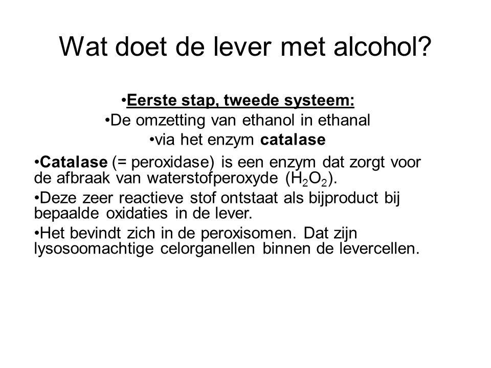 Wat doet de lever met alcohol? •Catalase (= peroxidase) is een enzym dat zorgt voor de afbraak van waterstofperoxyde (H 2 O 2 ). •Deze zeer reactieve